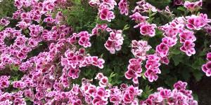 Flores de Terraza